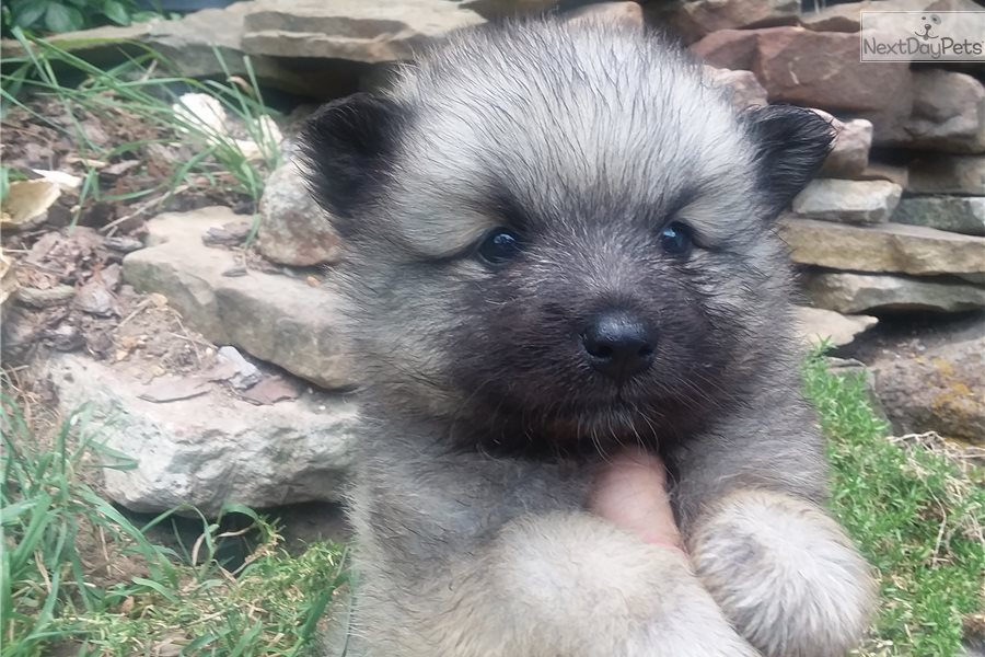 Keeshia: Keeshond puppy for sale near Knoxville, Tennessee ...