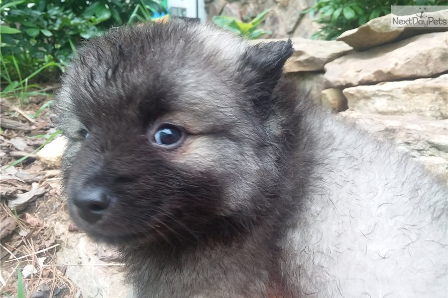 Baby Bear Keeshond Puppy For Sale Near Knoxville Tennessee 412d1ba6 0ba1