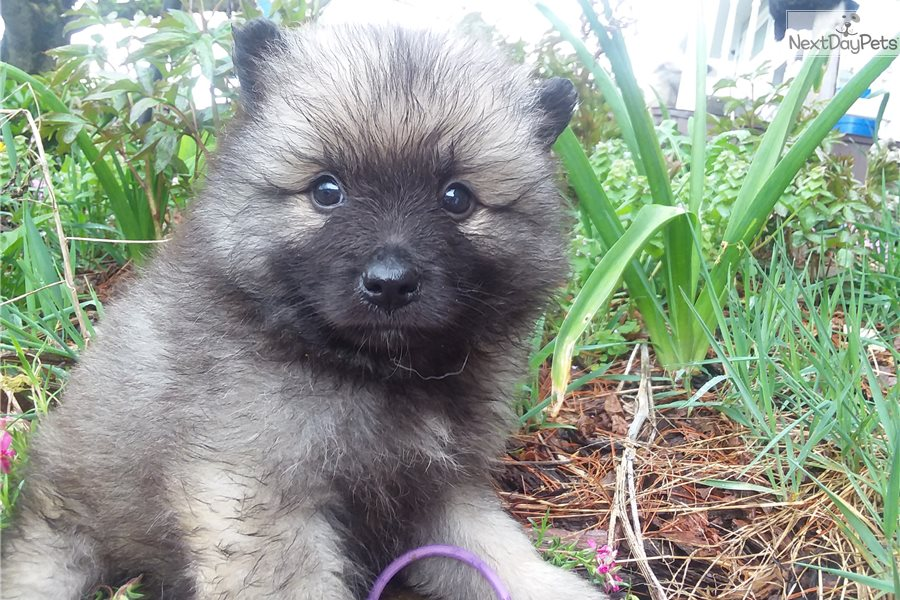 Fuzzy Keeshond Puppy For Sale Near Knoxville Tennessee B5f8e6b3 25c1