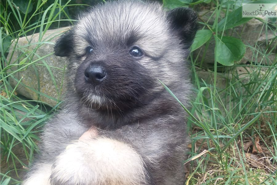 Katlynn Keeshond Puppy For Sale Near Knoxville Tennessee 70c4a317 9e31