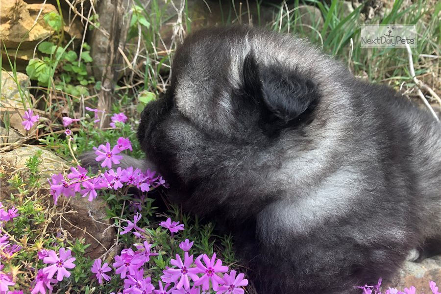 Bear Bear Keeshond Puppy For Sale Near Knoxville