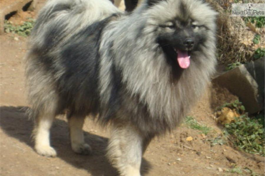Keeshond Puppy For Sale Near Knoxville Tennessee 18248fcf 2481