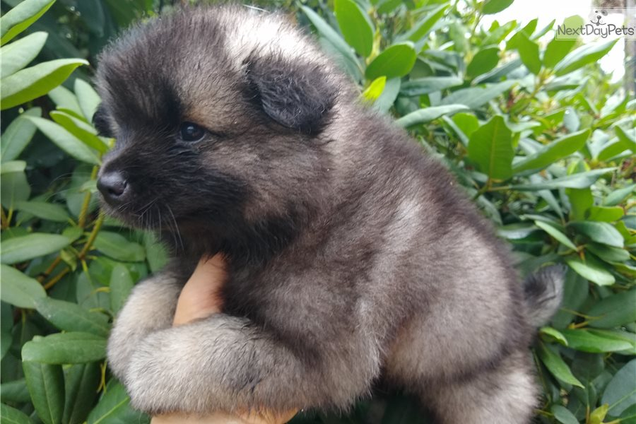 Bella Baby Keeshond Puppy For Sale Near Knoxville Tennessee 7279a123 D8c1