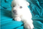Picture of an American Eskimo Dog Puppy
