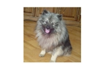 Picture of a Keeshond Puppy