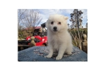 Picture of an Eskimo Dog Puppy