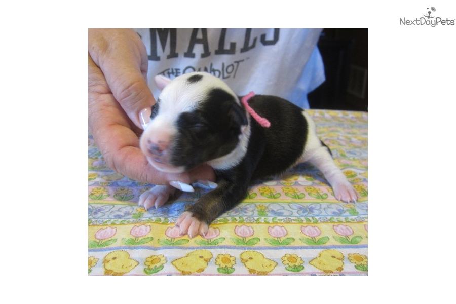 Gidgets Pups Mountain Feist Puppy For Sale Near Western Ky