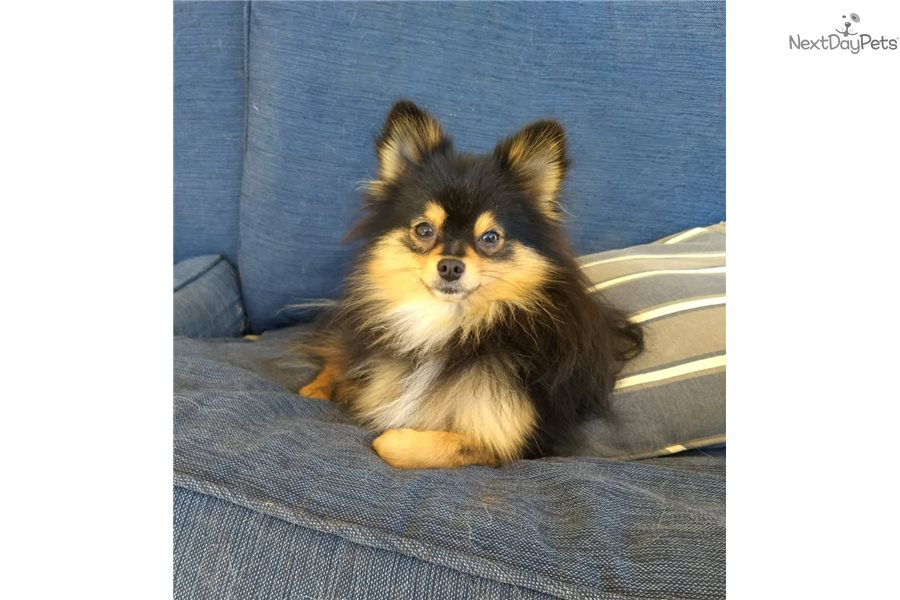 Bijou's Pups: Pomeranian puppy for sale near Western KY