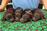 Picture of BSS registered Boykin Spaniel puppies 2 males