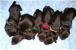 Picture of Boykin pups available, just in time for Christmas!
