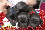 Picture of Bouncy, Bubbly Boykin Spaniel pups available