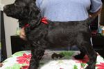 Picture of  Bouncy, Bubbly Boykin Spaniel MALE pup available