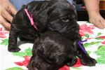 Picture of Boykin Spaniel FEMALE puppies!