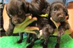 Picture of Boykin Spaniel males available!