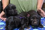 Picture of One BOYKIN SPANIEL FEMALE available