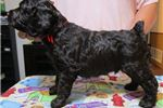 Picture of Bouncy, Bubbly, Boykin Spaniel pups available!