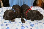 Picture of Boykin Spaniel puppies BSS registered 2 males