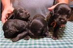 Picture of Boykin Spaniel pups, 4 males available!