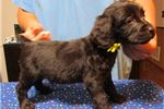 Picture of Boykin Spaniel males Ready for Xmas!