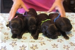 Picture of BSS registered Boykin pups