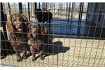 Picture of Bouncy Bubbly Boykin Spaniel puppies!