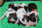 Picture of AKC Brittany pups, FLASHY COLORS!