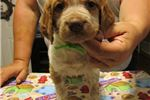 Picture of AKC Brittany pups, Roans!!!