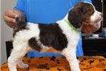 Picture of Brittany puppies! orange, liver and rare tricolors