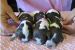 Picture of Brittany pups have arrived, reserve yours today!