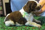 Picture of AKC Brittany pups, ALL COLORS!