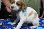Picture of AKC Brittany puppies SOOO Cute!!!