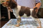Picture of AKC Brittany pups,  Tricolor Roans!!!