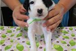 Picture of Enlish Setter puppies!