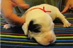 Picture of English Setter pups,Top Hungarian Bloodlines,