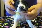 Picture of  English Setter puppies!