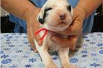 Picture of English Setter puppies European Bloodlines!