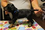 Picture of AKC Gordon Setter pups