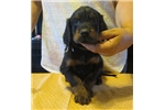 Picture of Import Sired Gordon Setter pups 3/4 Euro bloodline