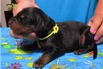 Picture of AKC Gordon Setter pups, Top Imported Bloodlines!