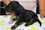 Picture of AKC Gordon Setter puppies! Gorgeous pups!