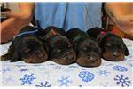 Picture of AKC Gordon Setter puppies  EUROPEAN Bloodlines!
