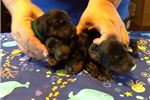 Picture of French Import sired Gordon Setter puppies! Reserve