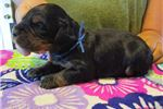 Picture of AKC Gordon Setter pups EUROPEAN BLOODLINES!