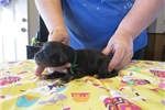 Picture of Gordon Setter puppies RESERVE NOW!