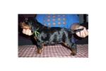 Picture of a Gordon Setter Puppy