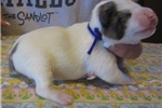Picture of NKC registered MOUNTAINFEIST pups