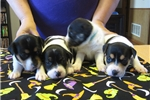Picture of Flashy Tricolor Mountain Feist pups available!
