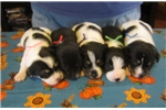 Picture of NKC registered MOUNTAIN FEIST pups 2 litters!