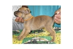 Picture of a Mountain Cur Puppy