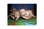 Picture of Reg MOUNTAIN FEIST puppies in KY